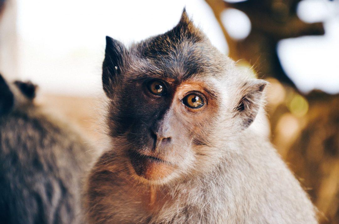 Je découvre la théorie du 100ème singe