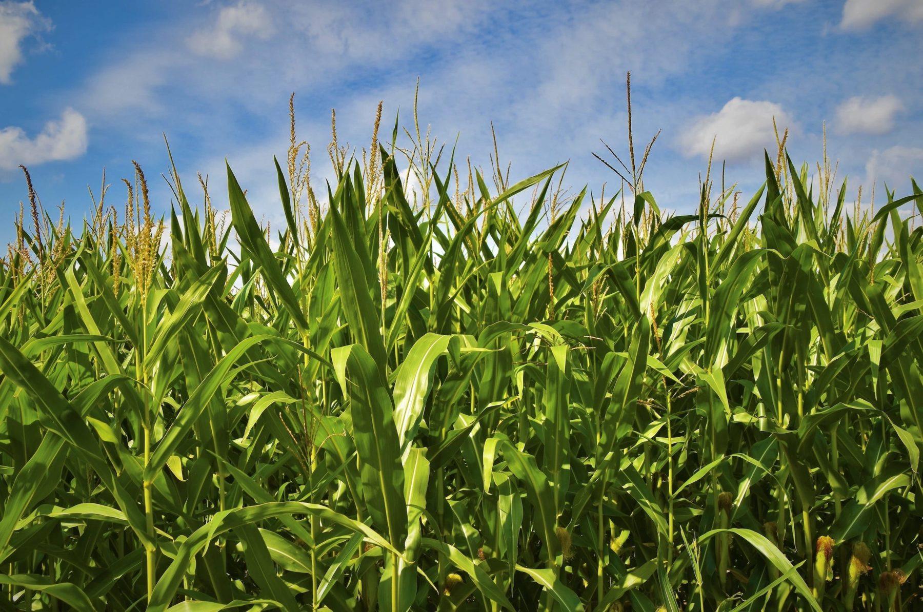 Je boycotte les OGM