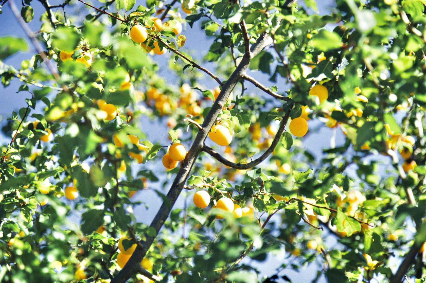 Je plante des arbres fruitiers